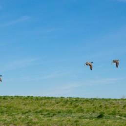 3 birds flying through blue sky in cobblestone creek, airdrie