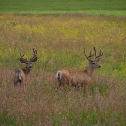 two deer in an alberta field in cobblestone creek community in airdrie